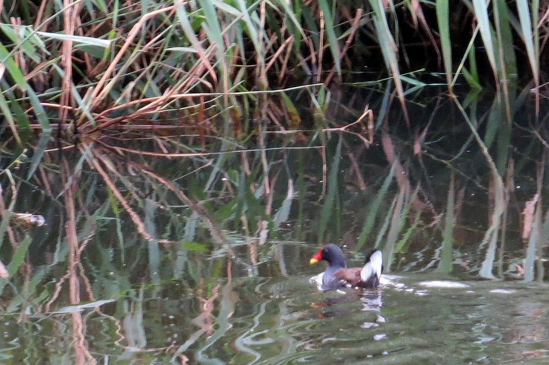 Picture of moorhen on the River Lea south of Luton Parkway to East Hyde