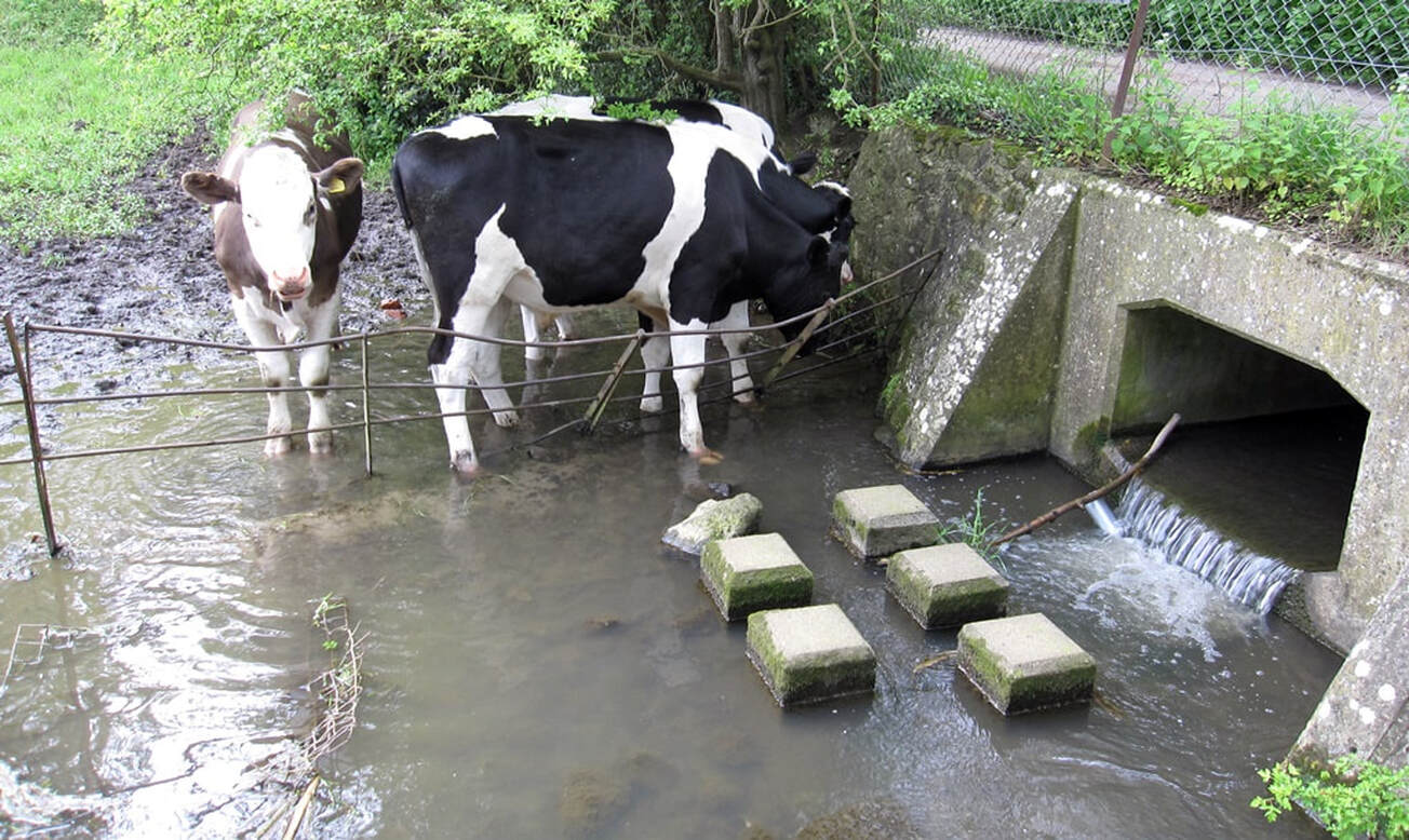 Picture of cows in the River Darent in Westerham near the source of the River